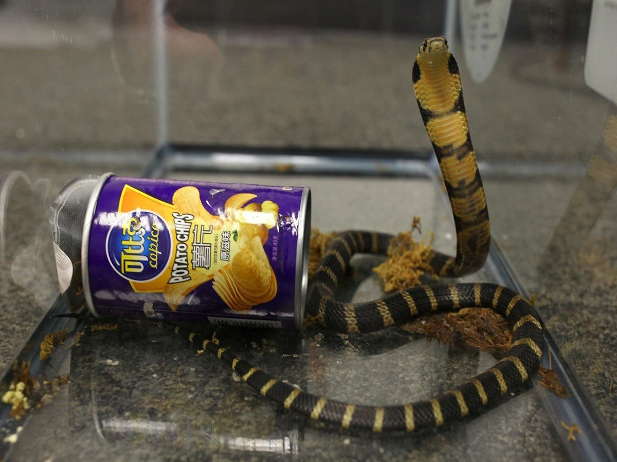 A man attempted to smuggle into the United States three live, highly venomous king cobra snakes hidden in potato chip canisters.