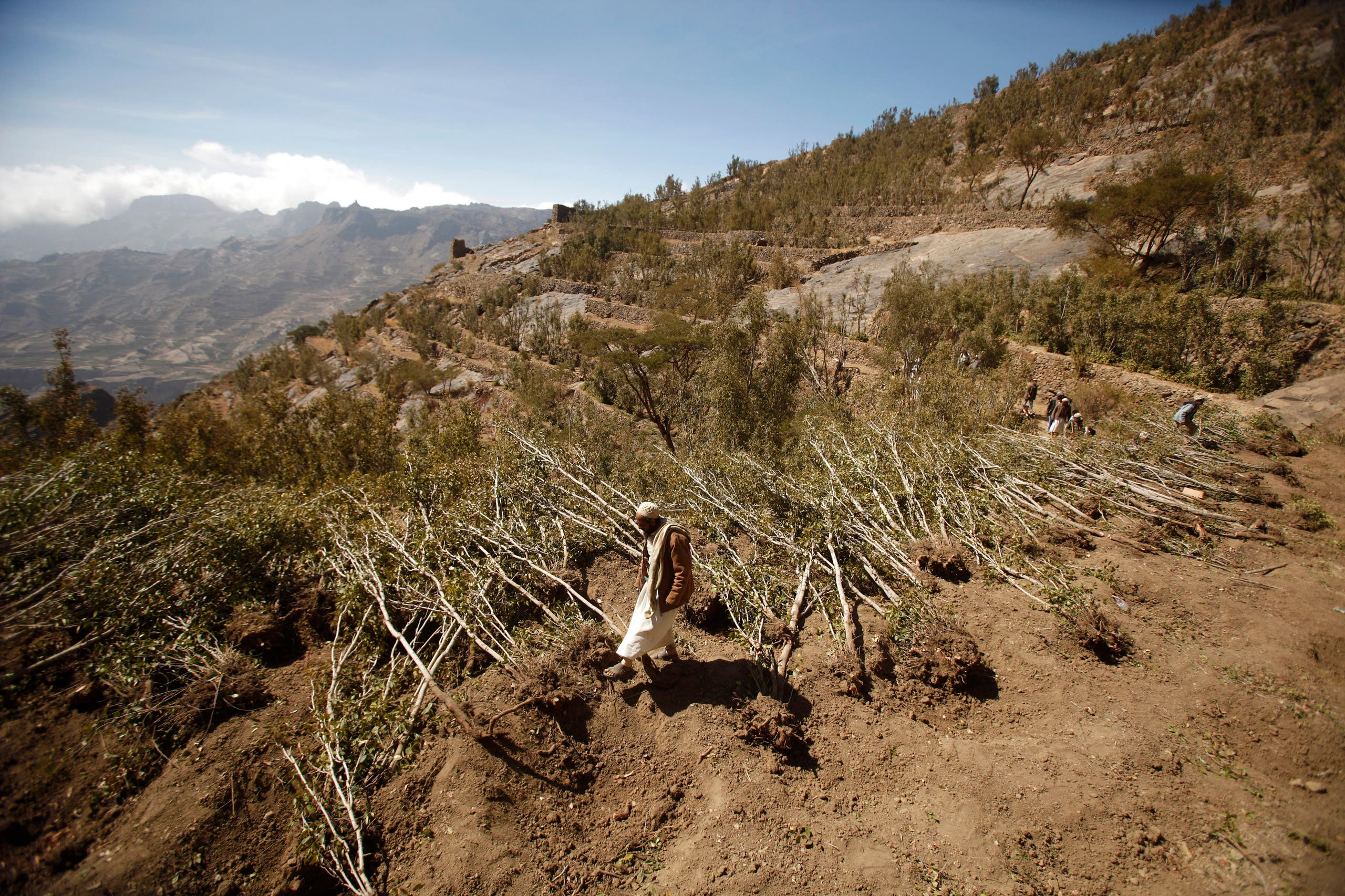 A farmer walks past trees of qat, a mild stimulant, cut down as part of a local campaign aimed at uprooting qat and replacing it with coffee and almond plants in Haraz mountains, around 100km (62 miles) west of the Yemeni capital Sanaa January 3, 2013.reuters
