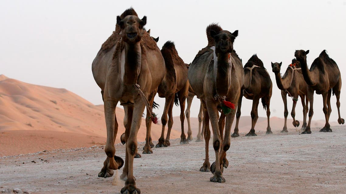 Camels at Shayba desert Saudi Arabia