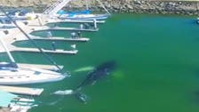 VIDEO: Whale sneaks into Marina in California