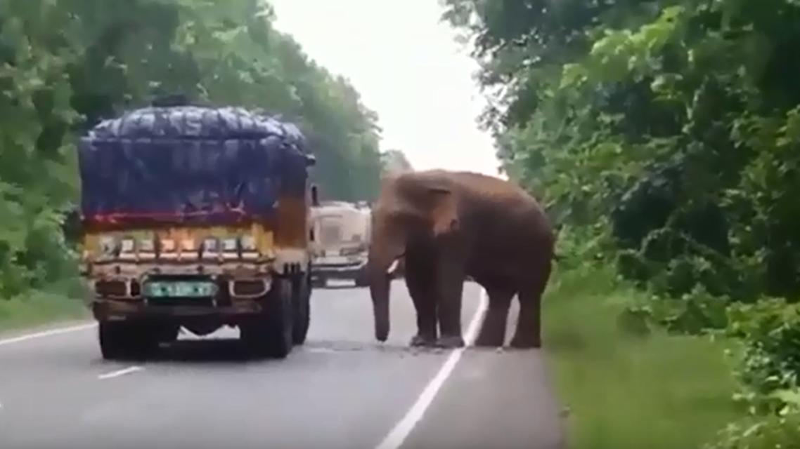 فیل گرسنه مانع حرکت کامیون حامل سیبزمینی شد