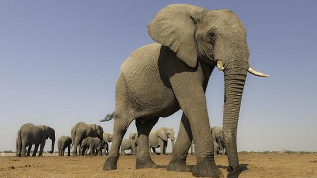 """""""هنا"""" تعبير عن الفيل بالفرنسية للسنة الخامسة ابتدائي"""