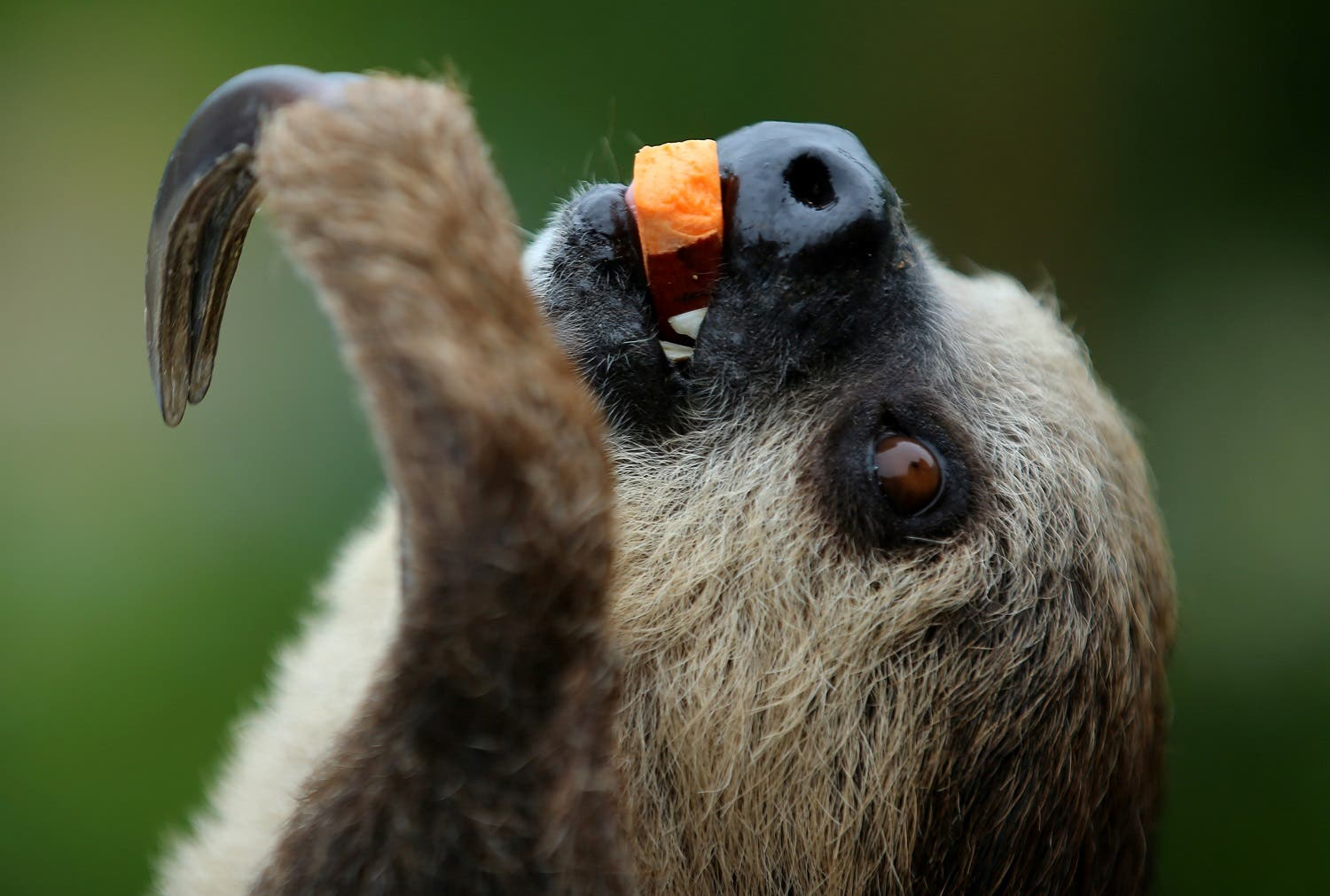 A  two-toed sloth, enjoys a piece of squash as she is presented to visitors at SeaWorld in San Diego, California, US, May 31, 2017. (Reuters)