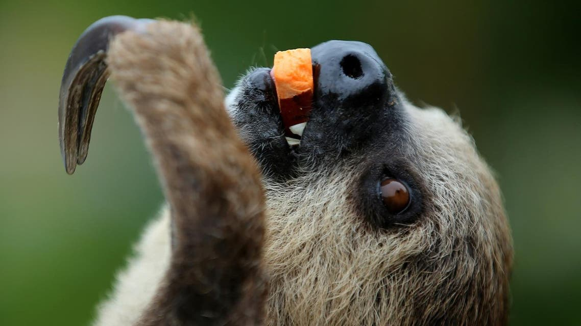 two-toed sloth, enjoys a piece of squash as she is presented to visitors at SeaWorld in San Diego, California, US, May 31, 2017. (Reuters)