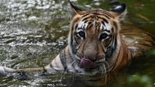 India's tiger population rises to nearly 3,000 animals