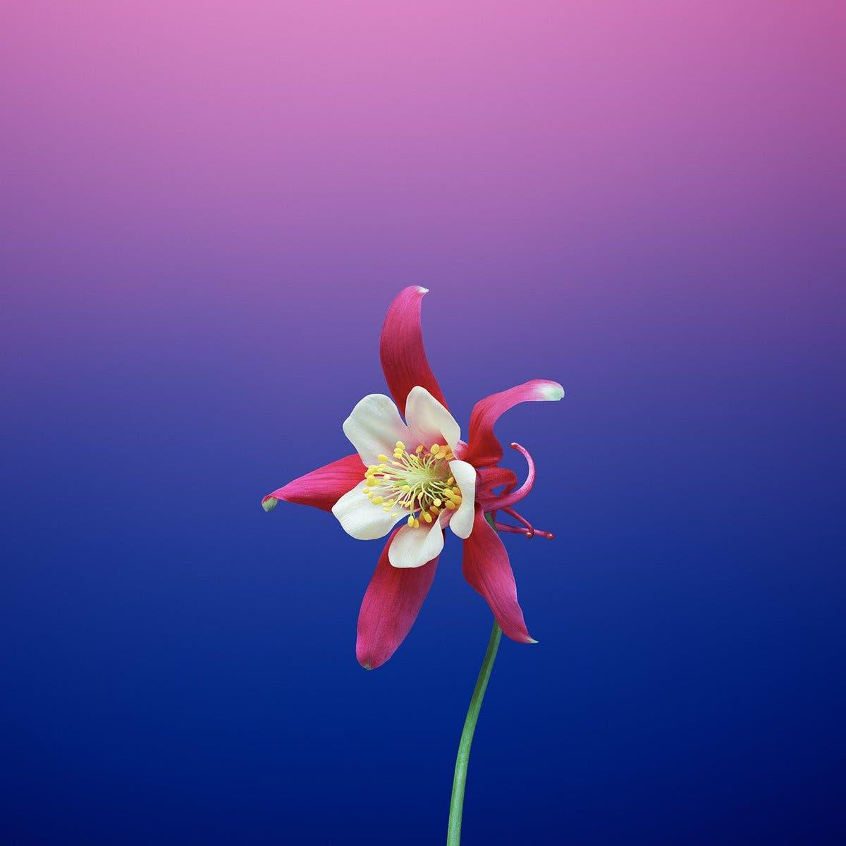 1e2e7b11813a1 ... والتي تتميز بأشكال الألوان التقليدية المجردة الخاصة بشركة آبل، جنباً  إلى جنب مع صور الزهور وصور كوكب الأرض، مع مجموعة جديدة من صور أنماط قوس  القزح.