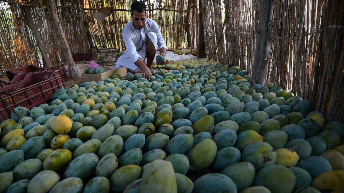 An Egyptian farmer inspects mangoes at a field in Wadi Al-Natroun area in Al-Beheira Governorate, on August 26, 2017. (AFP)