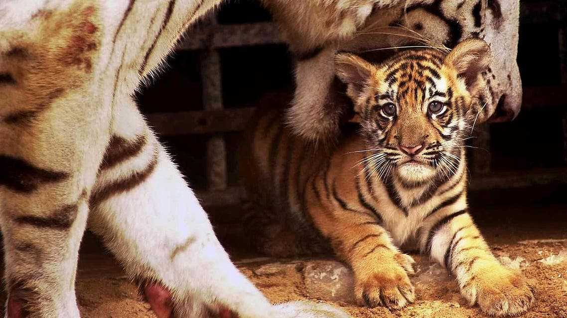 """Gayetri, an 11-year-old white tigress, attempts to pick-up her newborn cub which is being shown for the first time to visitors at Alipore Zoo in Calcutta, 21 August 2001. Gayetri's fifth litter is fathered by a """"normal colored"""" male who carries the """"white"""" gene. (AFP)"""