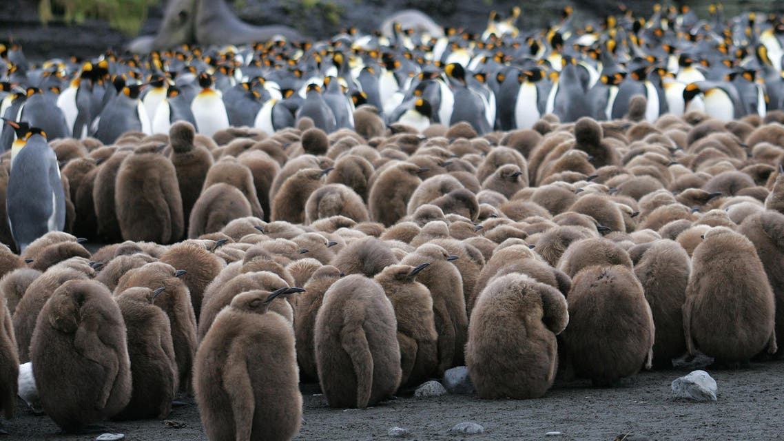 The chicks of a colony of king penguins are pictured 01 July 2007 on Possession Island in the Crozet archipelago in the Austral seas. AFP