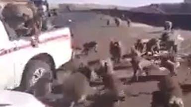 شاهد هجوماً غريباً من قردة تنقض على سيارة في الجزائر