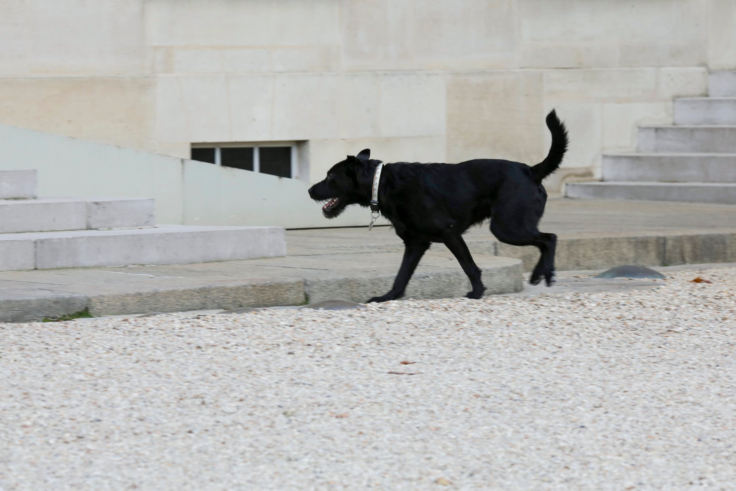 French President's dog Nemo runs at the Elysee Palace in Paris on October 12, 2017. afp