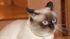 قد تذهلك التفاصيل.. مسابقة لملكة جمال القطط في مصر