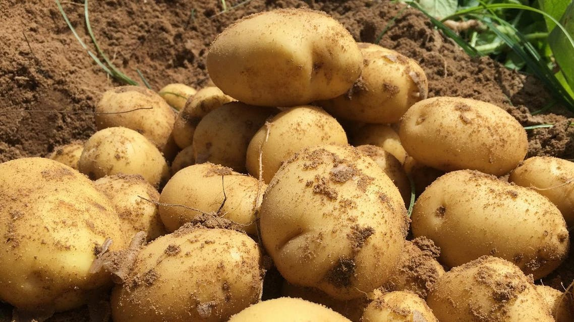 Potatoes produced from local seeds by global food and beverage giant PepsiCo International are pictured at a fields near the coastal city of Alexandria, Egypt April 20, 2017. (reuters)