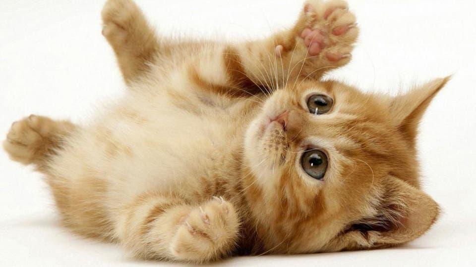 سلالات يجب تجنبها في القطط