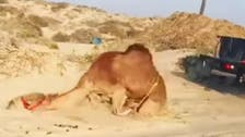 Camel cruelty video angers activists in Oman