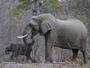 بعد غضب.. ترمب يتراجع عن جلب أجزاء من الأفيال
