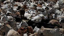 Indian ruling party's cow obsession angering farmers in key province