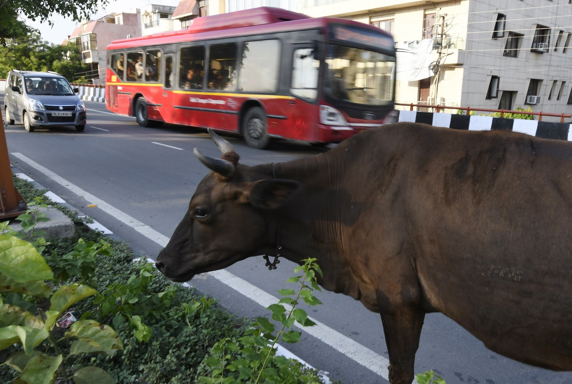 This July 20, 2017 photograph shows a cow eating vegetation on the side of the road in New Delhi. (AFP)