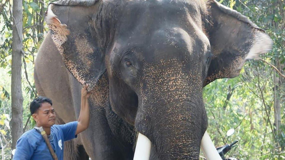 سرشناسترین فیل تایلند صاحبش را کشت