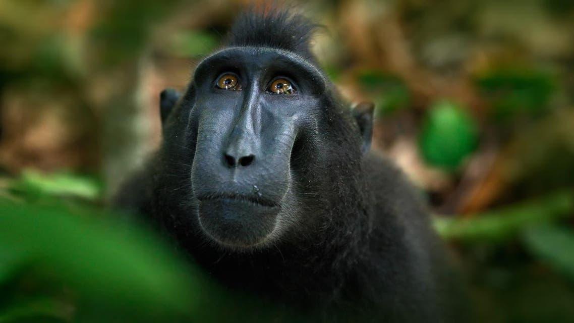 macaque shutterstock monkey