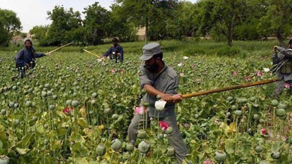 230 جریب زمین کشت کوکنار در هرات افغانستان تخریب شد