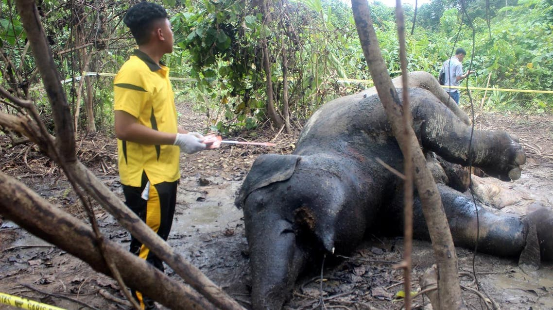 A pregnant elephant has been found dead in a palm oil plantation on Indonesia's Sumatra island, in what authorities suspect was a deliberate poisoning, an official said on December 27. (AFP)