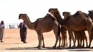 انطلاق مهرجان الملك عبد العزيز للإبل بالسعودية