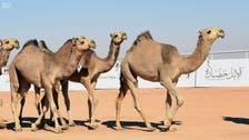 King Abdul Aziz Camel Festival kicks off in Saudi Arabia