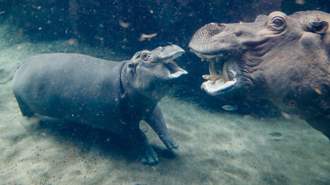 Fiona, a Nile hippopotamus, center, plays with her mother Bibi, right, in their enclosure at the Cincinnati Zoo & Botanical Garden, Thursday, Nov. 2, 2017, in Cincinnati. Born six weeks prematurely at 29 pounds, well below the common 50-100 pound range, and required nonstop critical care by zookeepers to ensure her survival. The 9-month-old media sensation's father, Henry, was euthanized on Oct. 31 after battling health issues for months, losing significant weight, and displaying no appetite or signs of possible improvement of his condition. (AP Photo/John Minchillo)