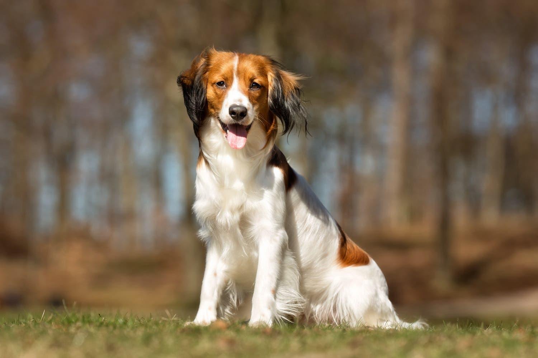 Labrador Dog For Adoption In Uae