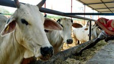 Massive manhunt underway in India after thieves steal cow dung