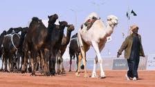 السعودية.. أكبر مهرجان للإبل عالمياً يدخل مرحلة حاسمة