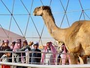 إقامة مهرجان الملك عبدالعزيز للإبل في هذا الموعد