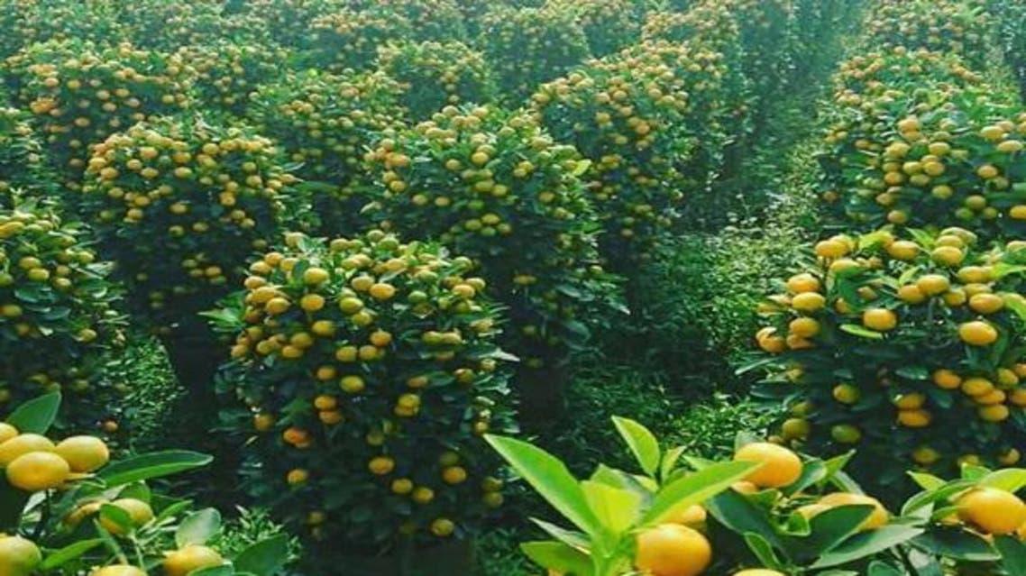 برتقال مأرب