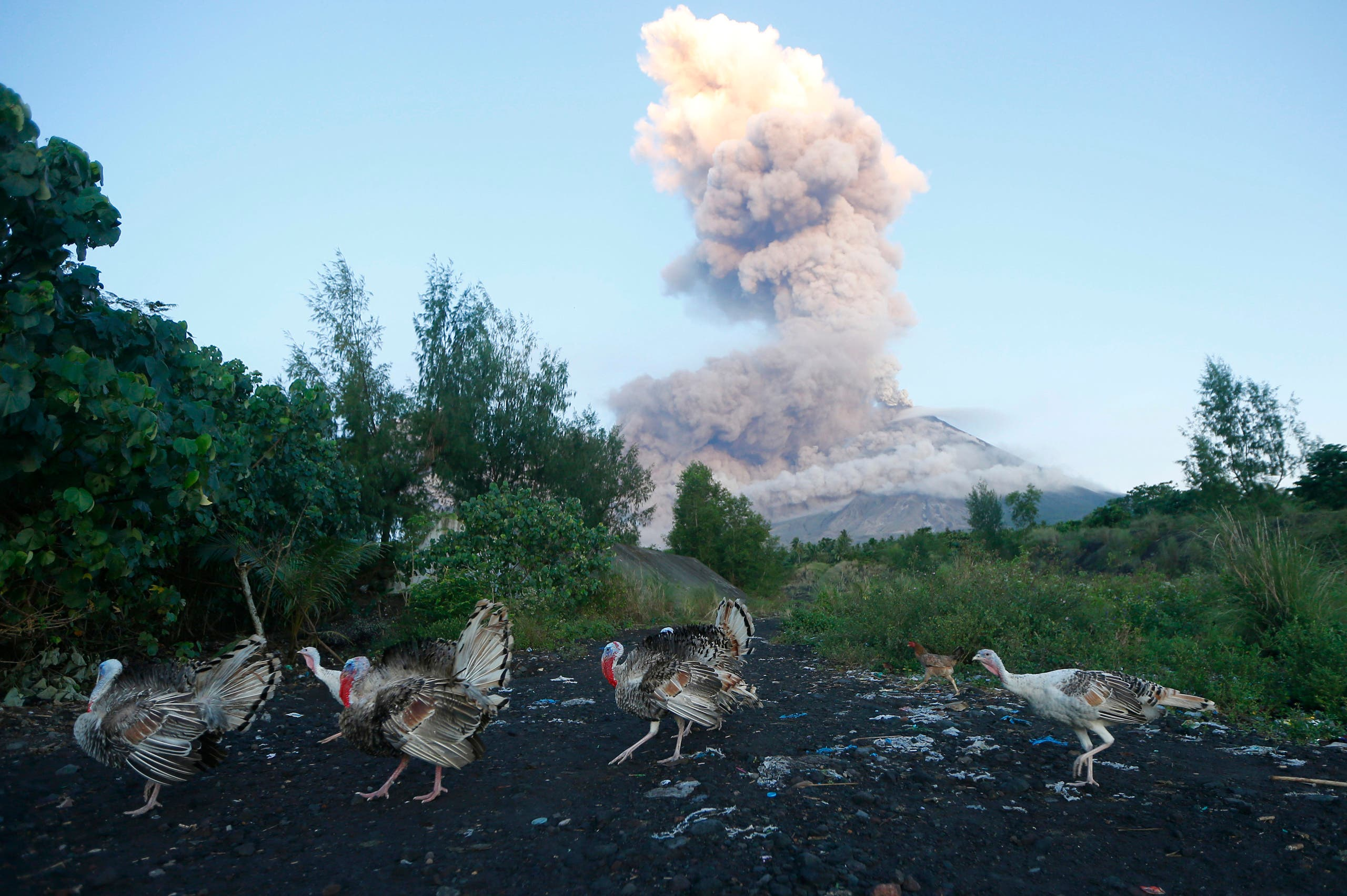 A flock of turkeys searches for food amidst an erupting Mayon volcano as seen from Legazpi city, Albay province, around 340 kilometers (200 miles) southeast of Manila, Philippines, Wednesday, Jan. 24, 2018.