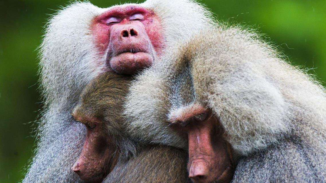 baboons (AFP)