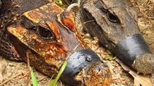 تماسيح إفريقية تكتشف لأول مرة.. نوع آخر من الزواحف