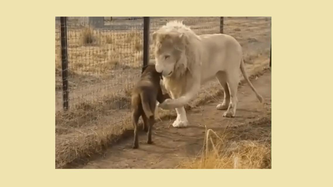 أسد يصافح كلباً