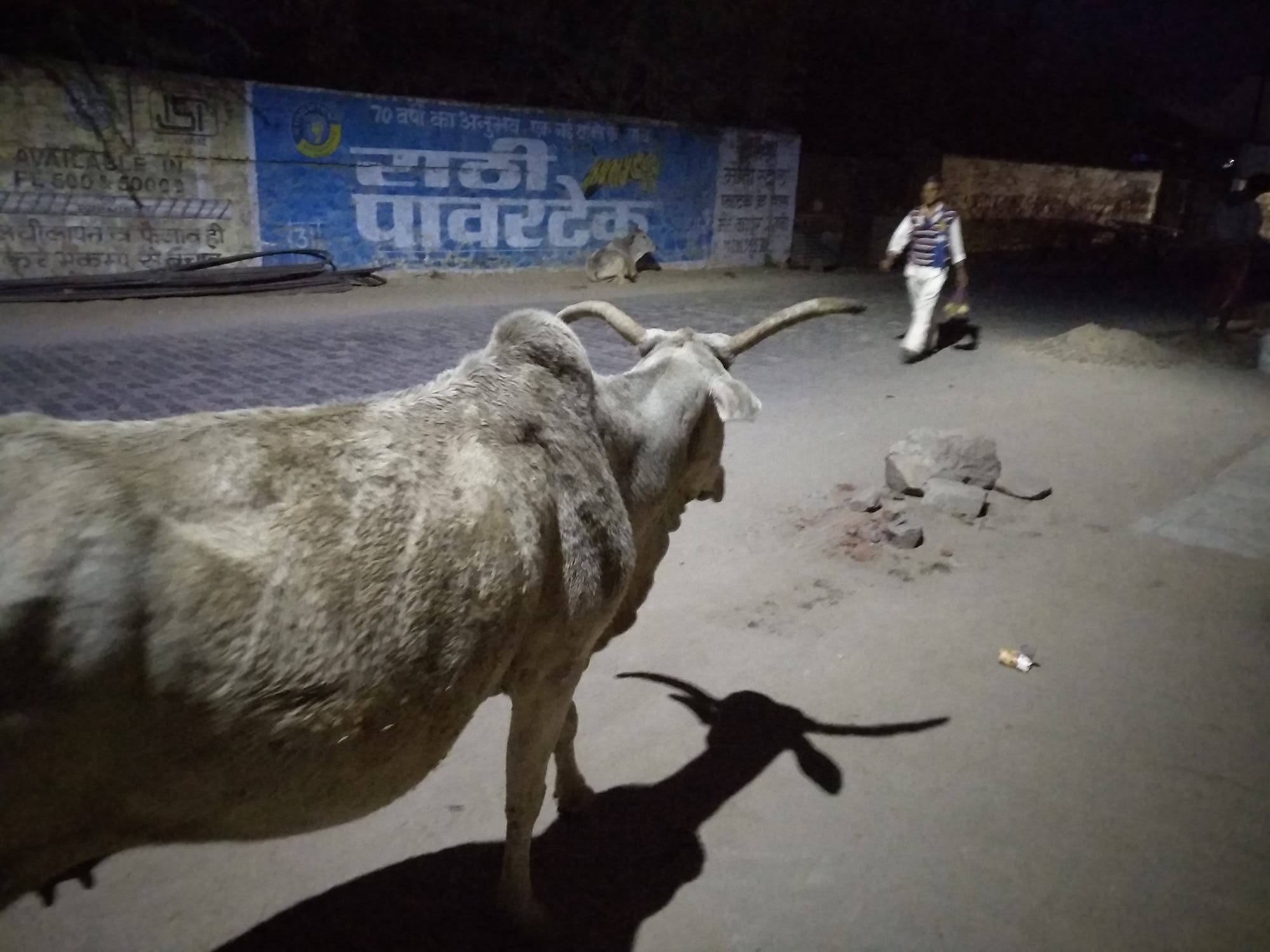 Incidents of cows with monstrous horns knocking down pedestrians are on the increase. (Supplied)