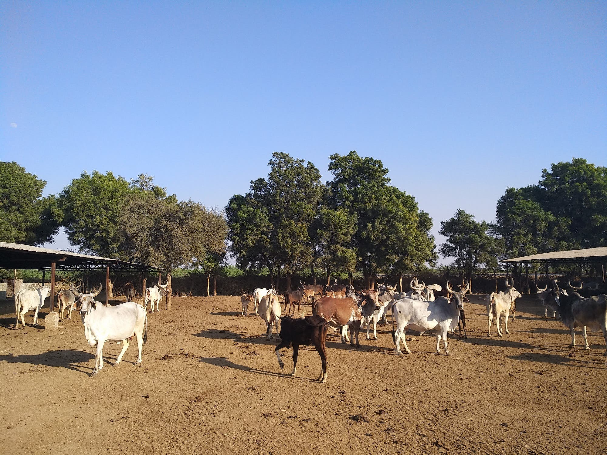 Many companies have donated huge funds to gaushalas or cow sheds. (Supplied)