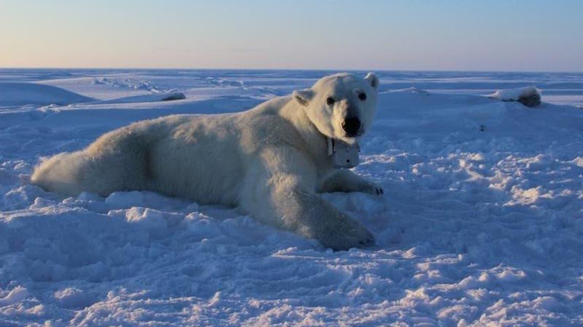 أنثى دب قطبي بالغة مثبت في رقبتها طوق إلكتروني لتتبع حركاتها بالأقمار الصناعية