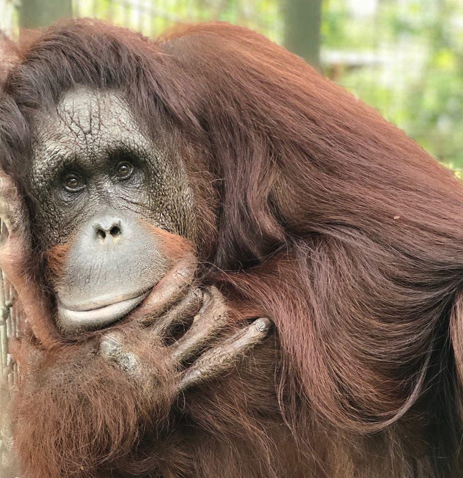 إنسان الغاب.. أحد القردة العليا المهددة بالانقراض