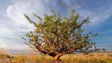صحابہ کرام جنگ میں زخمیوں کے علاج کے لیے یہ پودا استعمال کرتے تھے