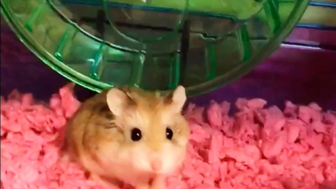 Flushed hamster
