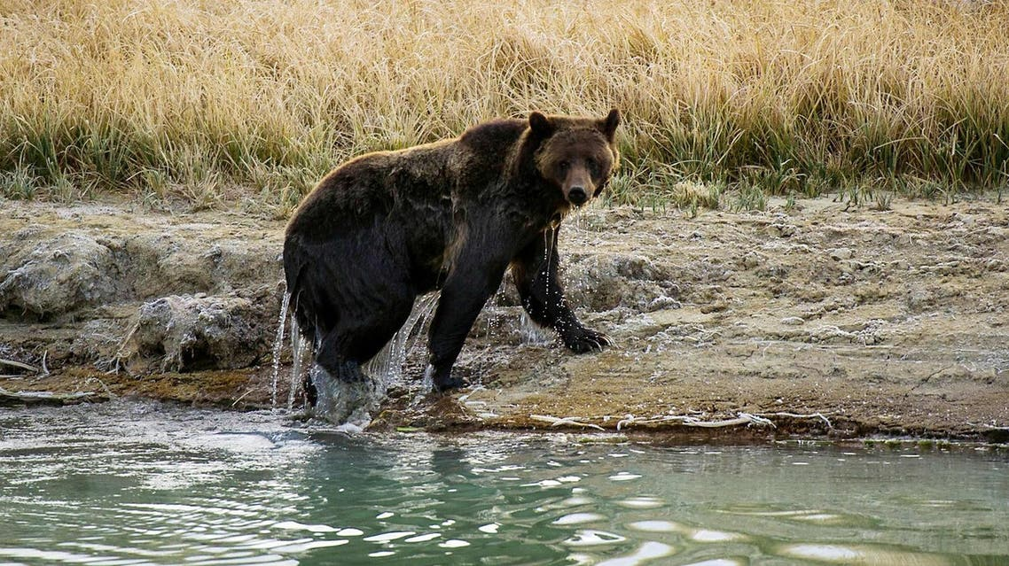 A female Grizzly bear exits Pelican Creek in the Yellowstone National Park in Wyoming. (File photo: AFP).