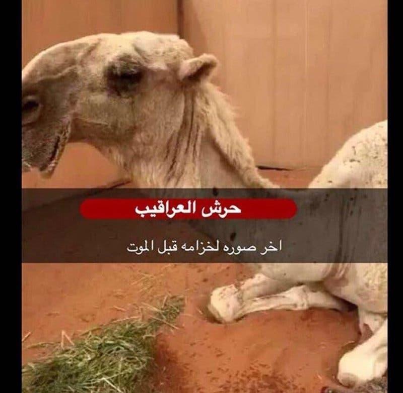 Khuzama camel
