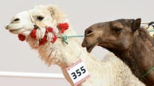Botox for camels: Saudi breeders fined over $100,000 under new law