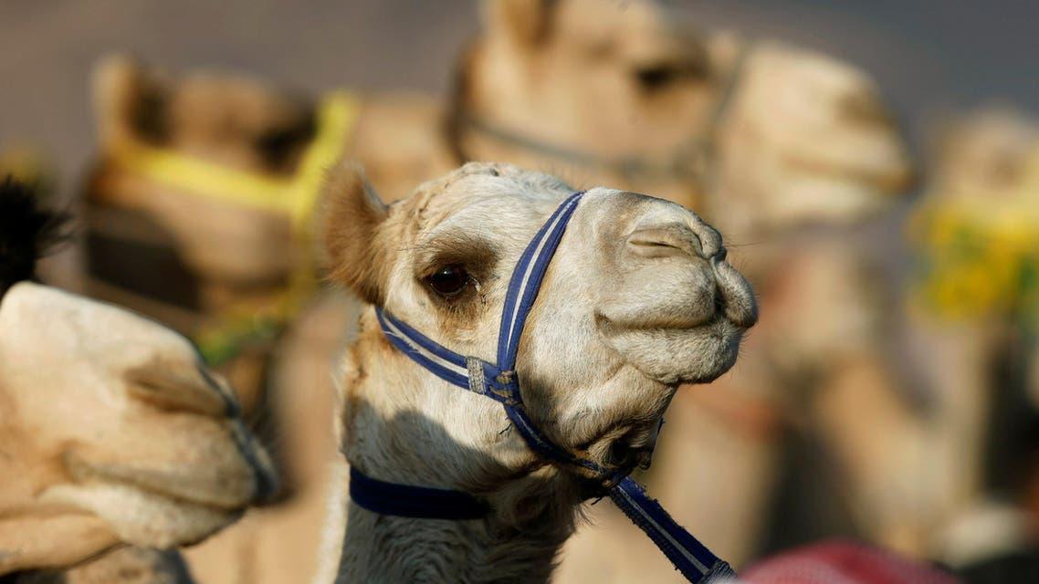 camels. (Reuters)