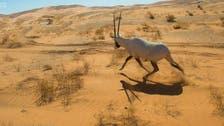 Arabian oryx at Saudi Arabia's Uruq bani Ma'arid natural reserve