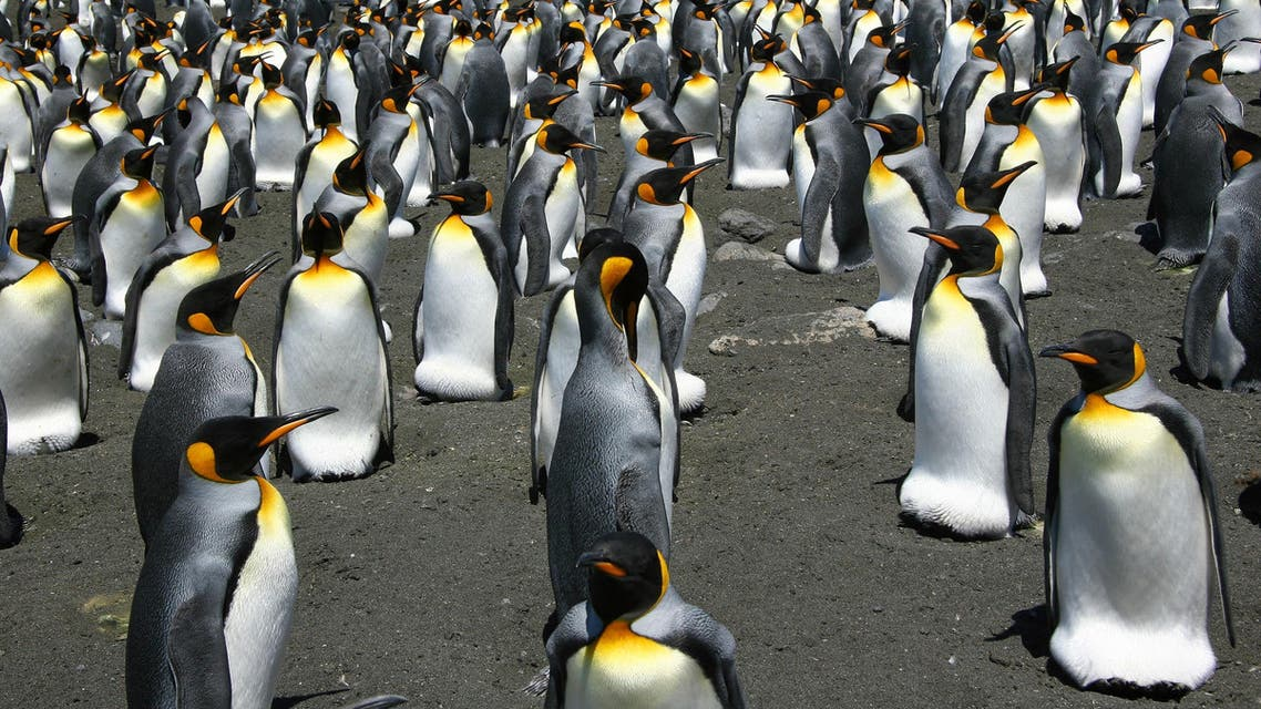 This undated handout photo released by the CNRS/IPEV/CSM shows King Penguins from the Possession Island in the Crozet archipelago. Global warming is on track to wipe out 70 percent of the world's King penguins by century's end, putting the regal birds on a path towards extinction, researchers warned February 26. Celine Le Bohec / CNRS / AFP